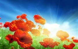 Красные маки цветы, солнечные лучи, голубое небо