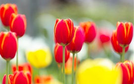 Red tulip flowers macro photography, blurry background