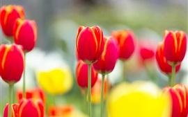 Красный тюльпан цветы макросъемки, размытым фоном