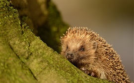 Preview wallpaper Small animal, hedgehog, spines