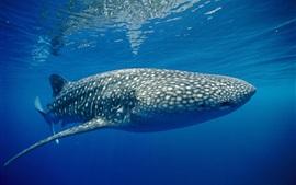 미리보기 배경 화면 타이거 상어, 푸른 바다, 수중