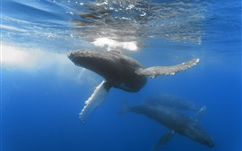 Preview wallpaper Whales in ocean, underwater
