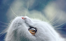 Preview wallpaper White cat look up, whiskers, eyes, kitten close-up