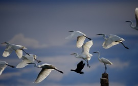 Preview wallpaper White crane flying, birds in sky