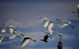 Aperçu fond d'écran Blanc grue volante, les oiseaux dans le ciel