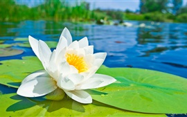 Preview wallpaper White lotus flower macro photography, green leaves, pond, water