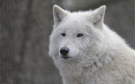 Preview wallpaper White wolf close-up, face, portrait