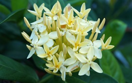 Preview wallpaper Yellow flowers ixora close-up