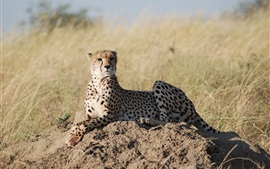 Preview wallpaper African safari, leopard, grass