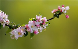 Preview wallpaper Apple tree flowers bloom, spring