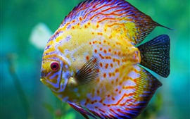 Preview wallpaper Beautiful discus fish, aquarium