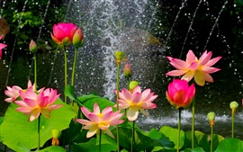 Preview wallpaper Beautiful lotus pond, pink flowers, green leaves