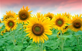 Preview wallpaper Beautiful sunflowers field