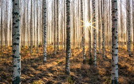 Preview wallpaper Birch forest, trees, sun rays