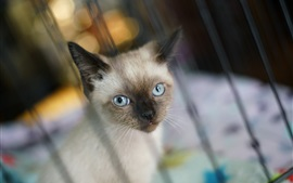 Preview wallpaper Blue eyes cat out the window