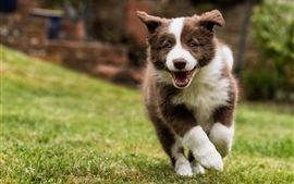 Preview wallpaper Border collie, dog walking, grass
