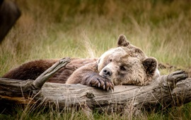 Preview wallpaper Brown bear sleep in the grass