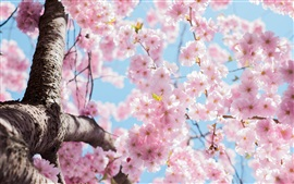 Preview wallpaper Cherry flowers blossom, tree, twigs, spring