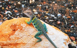 Colorful lizard, gecko, stone, bokeh