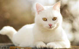 Preview wallpaper Cute white cat front view