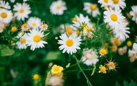 Preview wallpaper Daisies flowers field, white petals
