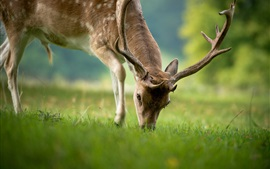 Preview wallpaper Deer eating grass, summer, bokeh