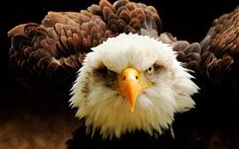 Águila vista delantera, ojos, pico, plumas