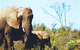 Preview wallpaper Elephants, cub, wildlife, grass