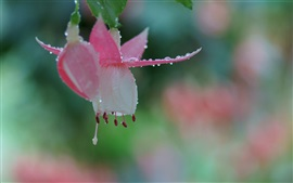 Fuchsia flower macro photography, dew, bokeh