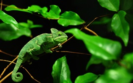 Camaleón verde, selva tropical de Madagascar