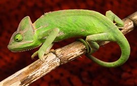 Preview wallpaper Green chameleon, animals photography