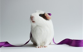 Preview wallpaper Guinea pig, lovely pet