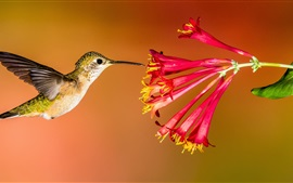 Preview wallpaper Hummingbird flying, red flowers