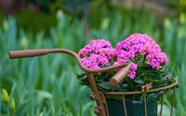 Kalanchoe flowers, bike basket
