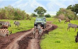 Кения, Танзания, сафари, зебра