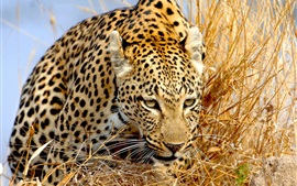 Preview wallpaper Leopard in grass