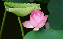 Lotus green leaves and pink flower