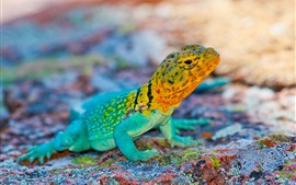 Mexico lizard, colorful, stones