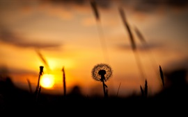 Nature sunset, grass, dandelion, silhouette, red sky