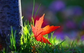 One red maple leaf, grass, sunshine