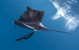 Preview wallpaper Pacific sailfish, underwater, Thailand ocean