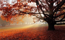 Park in autumn, tree, red leaves, morning, fog