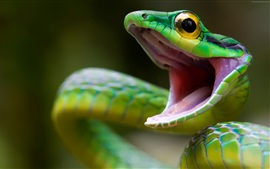 Preview wallpaper Parrot snake, dangerous animal, angry