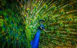 Aperçu fond d'écran Peacock belles plumes