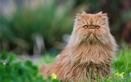 Preview wallpaper Persian cat, furry kitten