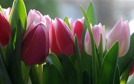Preview wallpaper Pink fresh tulip flowers photography