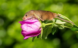 Pink rose flower and mouse baby