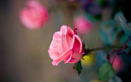 Preview wallpaper Pink rose flower macro photography, bokeh