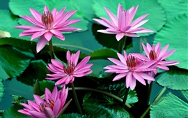 Preview wallpaper Pink water lily flowers, beautiful, petals, leaves, water