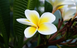 Preview wallpaper Plumeria macro photography, white and yellow